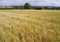 Field of rye (Alan Tattersall, Creative Commons 2.0)